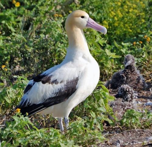 short_tailed_albatross1