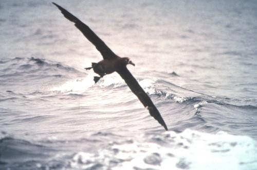 black-footed-albatross-in-flight-bird