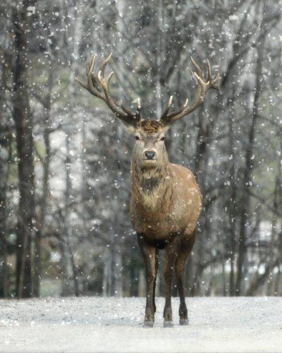 elk-1170653_640